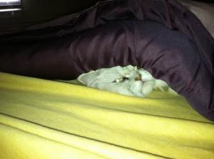 Chinchilla blanket